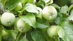 Maçãs nos ramos de árvores de Apple no jardim filme