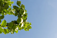 Maçãs orgânicas - céu azul Imagem de Stock Royalty Free