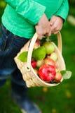Maçãs orgânicas em uma cesta Fotografia de Stock