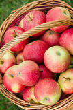 Maçãs orgânicas em uma cesta ao ar livre Imagem de Stock Royalty Free