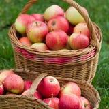 Maçãs orgânicas em uma cesta ao ar livre Fotografia de Stock Royalty Free