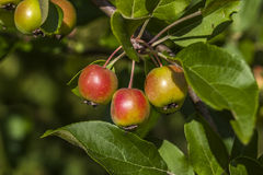 Maçãs orgânicas na árvore de maçã Fotografia de Stock