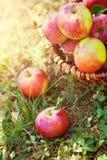 Maçãs orgânicas na grama do verão Imagens de Stock Royalty Free