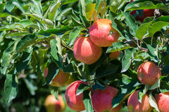 Maçãs orgânicas vermelhas maduras na árvore Imagem de Stock