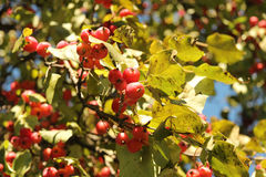 Maçãs pequenas vermelhas na árvore Imagens de Stock