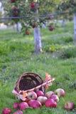 Maçãs que derramam fora de uma cesta em uma grama verde na manhã Fotografia de Stock