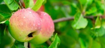 Maçãs suculentas e deliciosas amadurecidas em um ramo após a chuva imagem de stock