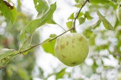 Maçãs verdes em um ramo pronto para ser colhido, fora foto de stock