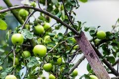 Maçãs verdes maduras de Llarge Fotos de Stock Royalty Free
