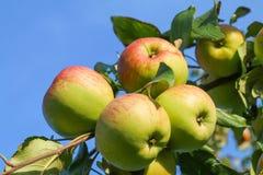 Maçãs verdes maduras frescas na árvore Fotografia de Stock Royalty Free