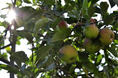 Maçãs verdes maduras na árvore Imagens de Stock