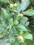 Maçãs verdes verdes na árvore Fotos de Stock