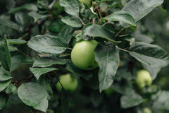 Maçãs verdes na árvore Fotografia de Stock Royalty Free