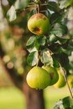 Maçãs verdes que crescem na árvore fotos de stock
