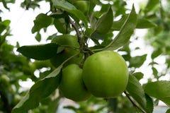 Maçãs verdes verdes orgânicas frescas descosidas com fundo natural das folhas Fotografia de Stock Royalty Free