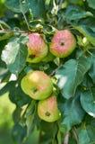 Maçãs verdes vermelhas maduras e suculentas na árvore Vida no campo, presentes da natureza Imagem de Stock Royalty Free