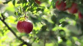 Maçãs vermelhas agradáveis surpreendentes bonitas suculentas no ramo de árvore, por do sol do outono com brisa clara video estoque