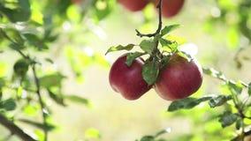Maçãs vermelhas agradáveis surpreendentes bonitas suculentas no ramo de árvore, por do sol do outono com brisa clara filme