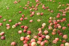 Maçãs vermelhas caídas na grama verde Fotos de Stock Royalty Free