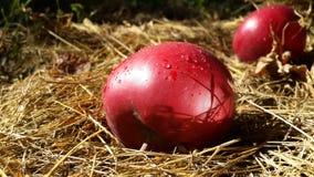 Maçãs vermelhas com gotas do orvalho Imagem de Stock Royalty Free