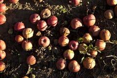 Maçãs vermelhas da colheita Imagens de Stock