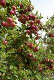 Maçãs vermelhas da gala que branchgrowing em Austrália foto de stock