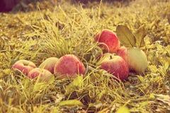 Maçãs vermelhas do fruto em uma grama Retro tonificado Imagem de Stock