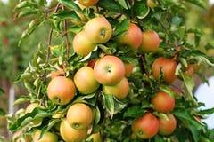 Maçãs vermelhas do jonagold no ramo de árvore da maçã Foto de Stock