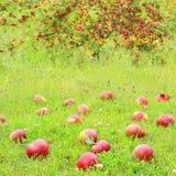 Maçãs vermelhas frescas Fotos de Stock Royalty Free