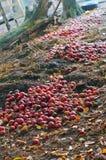 Maçãs vermelhas jogadas para fora para a podridão, grupo de maçãs vermelhas na terra fotografia de stock royalty free