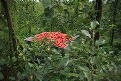 Maçãs vermelhas maduras em uma caixa plástica no pomar Fotos de Stock