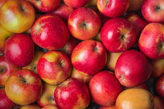 Maçãs vermelhas maduras frescas Fotografia de Stock Royalty Free