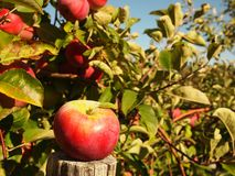 Maçãs vermelhas maduras na árvore fotos de stock royalty free
