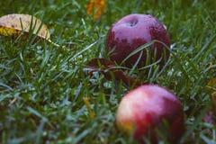 Maçãs vermelhas na grama verde Imagens de Stock
