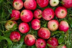 Maçãs vermelhas na grama verde Foto de Stock