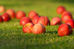 Maçãs vermelhas na grama verde. Imagens de Stock Royalty Free
