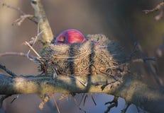 Maçãs vermelhas no ninho de um pisco de peito vermelho Fotos de Stock Royalty Free