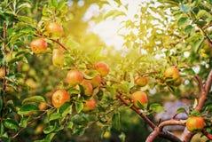 Maçãs vermelhas no ramo de árvore da maçã Imagem de Stock Royalty Free