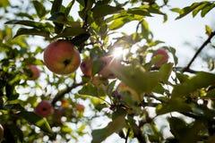 Maçãs vermelhas no ramo de árvore da maçã imagem de stock