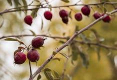Maçãs vermelhas pequenas que penduram no ramo de árvore do outono Fotografia de Stock