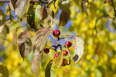 Maçãs vermelhas pequenas selvagens no fundo do outono Fotos de Stock Royalty Free