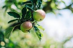 Maçãs vermelhas que crescem em uma árvore de Apple Imagens de Stock Royalty Free