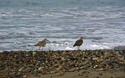 Maçarico real e borrelho na praia Foto de Stock Royalty Free