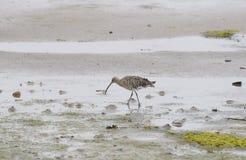 Maçarico real que forrageia em planos de lama na maré baixa Fotografia de Stock Royalty Free