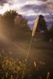 maíz Fotos de archivo
