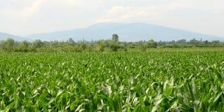 Maíz, agricultura y concepto de la comida Foto de archivo libre de regalías