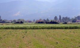 Maíz, agricultura y concepto de la comida Foto de archivo