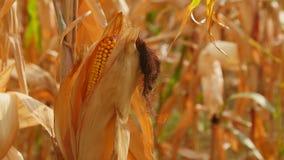 Maíz amarillo listo para la cosecha Imagen de archivo libre de regalías