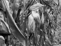 Maíz blanco y negro Imagenes de archivo