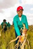 Maíz comercial que cultiva en África fotografía de archivo libre de regalías